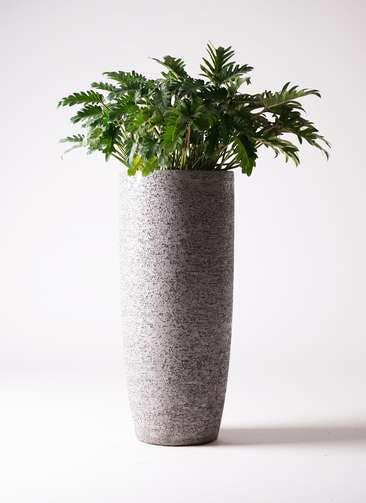 観葉植物 クッカバラ 7号 エコストーントールタイプ Gray 付き