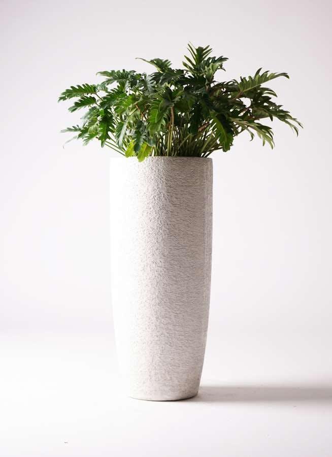 観葉植物 クッカバラ 7号 エコストーントールタイプ white 付き