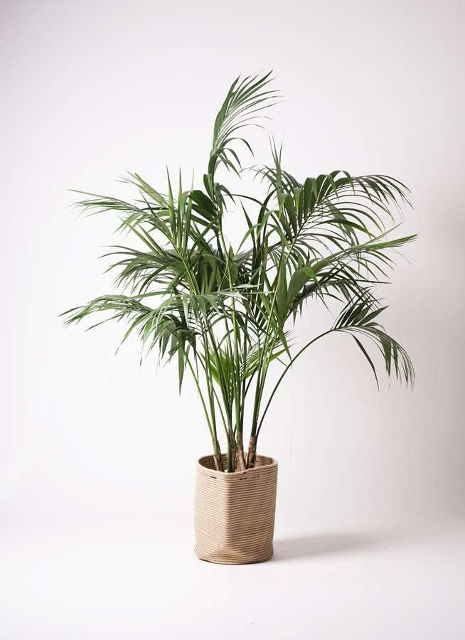 観葉植物 ケンチャヤシ 10号 リブバスケットNatural 付き