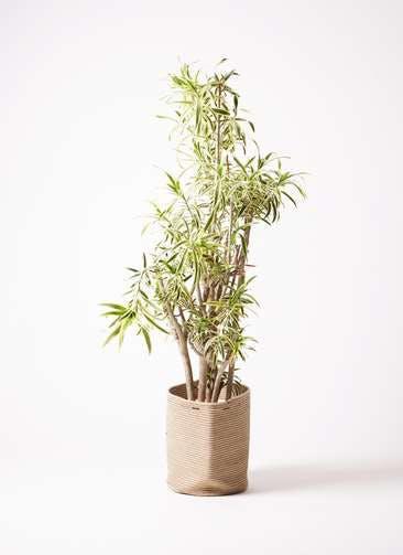 観葉植物 ドラセナ ソング オブ インディア 10号 リブバスケットNatural 付き