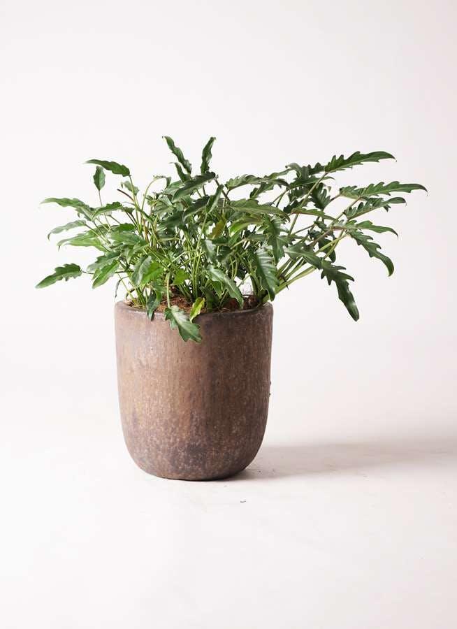 観葉植物 クッカバラ 6号 ビトロ ウーヌム コッパー釉 付き