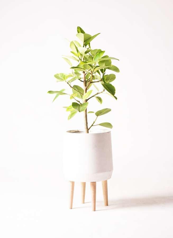 観葉植物 フィカス アルテシーマ 7号 ストレート ファイバークレイ white 付き