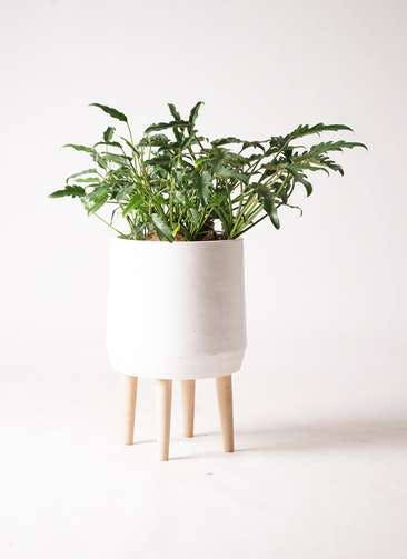 観葉植物 クッカバラ 6号 ファイバークレイ white 付き