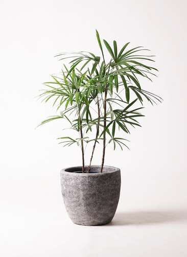 観葉植物 シュロチク(棕櫚竹) 8号 アビスソニアミドル 灰 付き