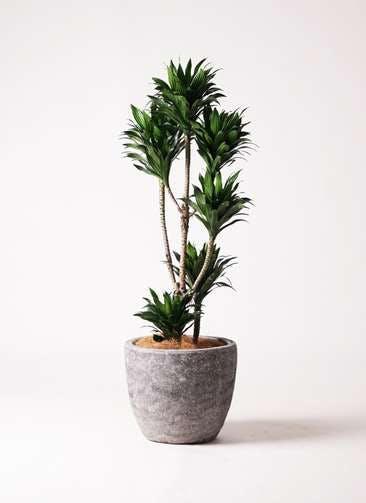 観葉植物 ドラセナ コンパクター 8号 アビスソニアミドル 灰 付き