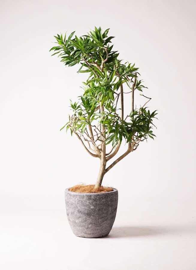 観葉植物 ドラセナ ソング オブ ジャマイカ 8号 アビスソニアミドル 灰 付き