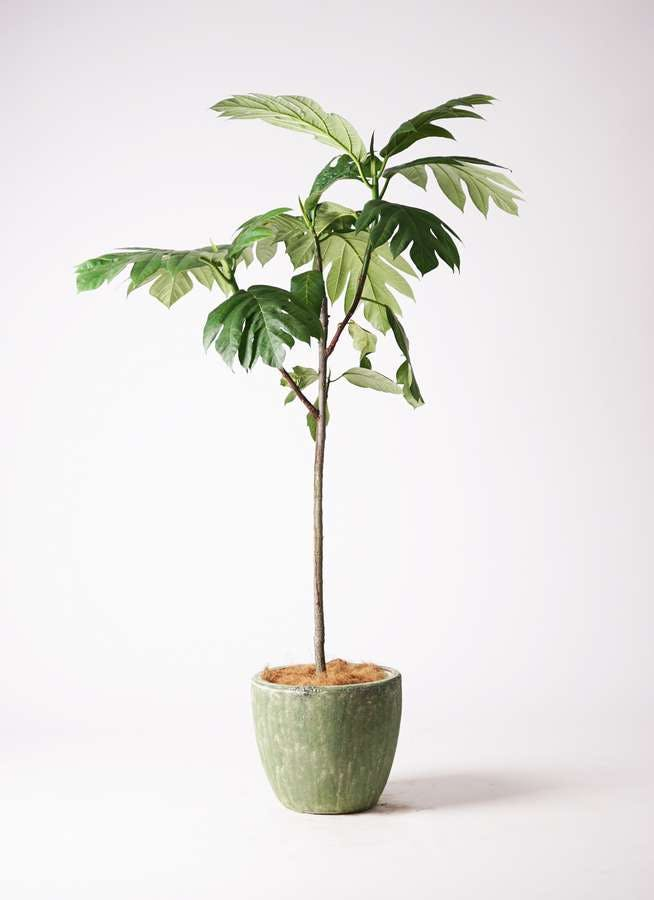 観葉植物 パンノキ 8号 アビスソニアミドル 緑 付き