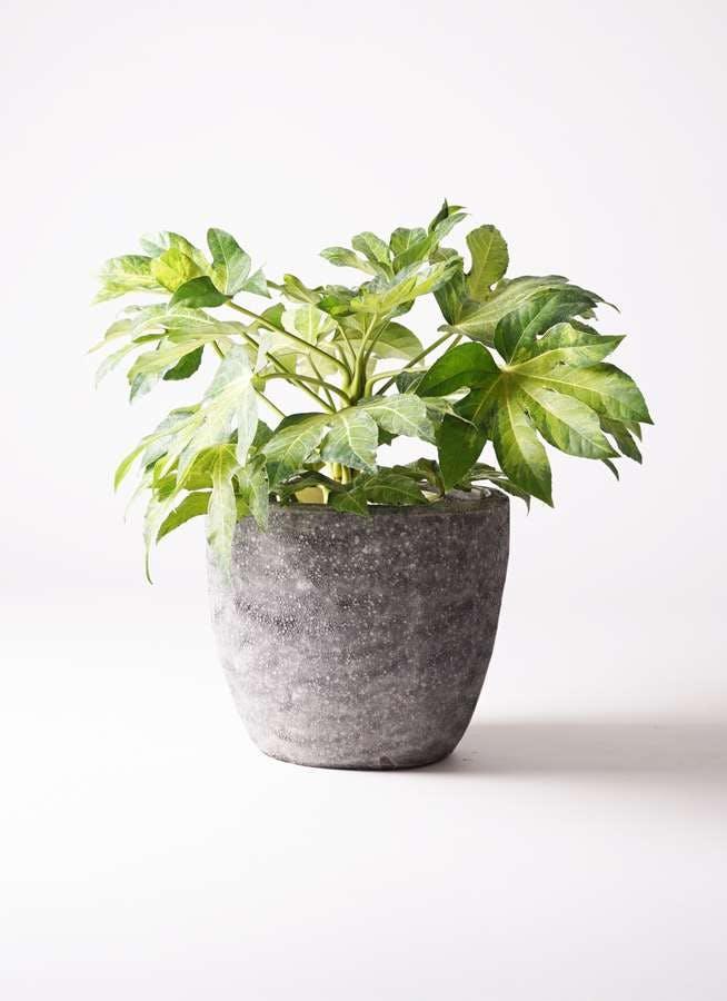観葉植物 ヤツデ 7号 アビスソニアミドル 灰 付き