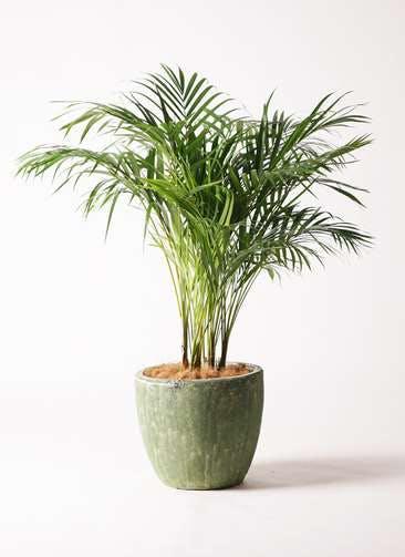観葉植物 アレカヤシ 8号 アビスソニアミドル 緑 付き