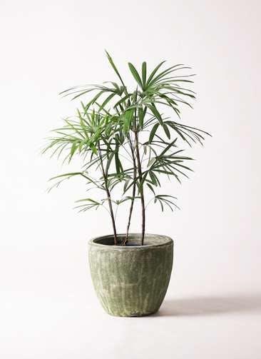 観葉植物 シュロチク(棕櫚竹) 8号 アビスソニアミドル 緑 付き