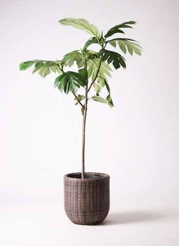 観葉植物 パンノキ 8号 ウィッカーポットエッグ 茶 付き