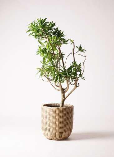 観葉植物 ドラセナ ソング オブ ジャマイカ 8号 ウィッカーポットエッグ ベージュ 付き