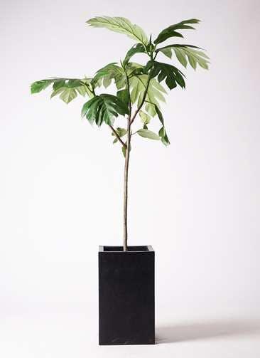 観葉植物 パンノキ 8号 セドナロング 墨 付き