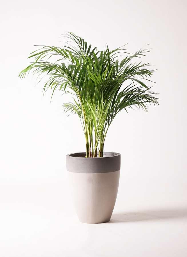 観葉植物 アレカヤシ 8号 ファイバーストーンカプリ サンディホワイト 付き
