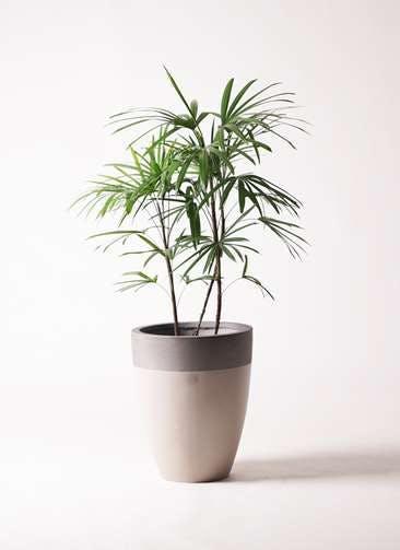 観葉植物 シュロチク(棕櫚竹) 8号 ファイバーストーンカプリ サンディホワイト 付き