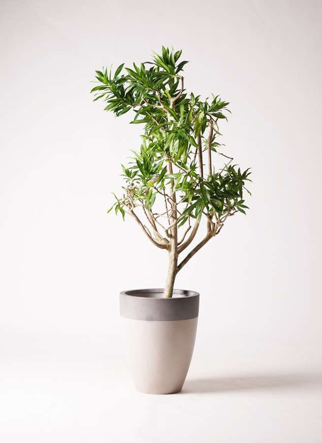 観葉植物 ドラセナ ソング オブ ジャマイカ 8号 ファイバーストーンカプリ サンディホワイト 付き