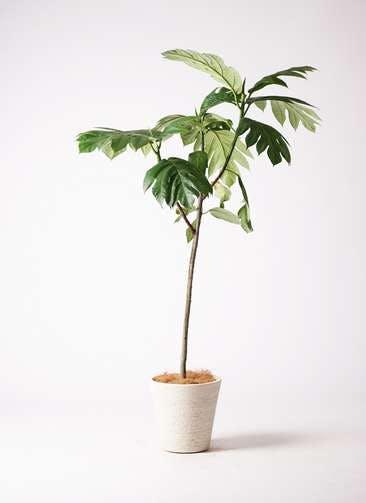 観葉植物 パンノキ 8号 ビアスソリッド 白 付き