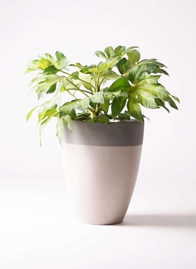 観葉植物 ヤツデ 7号 ファイバーストーンカプリ サンディホワイト 付き