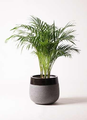 観葉植物 アレカヤシ 8号 ファイバーストーンタウルス 黒 付き