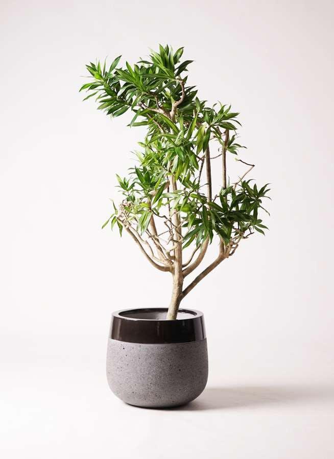 観葉植物 ドラセナ ソング オブ ジャマイカ 8号 ファイバーストーンタウルス 黒 付き