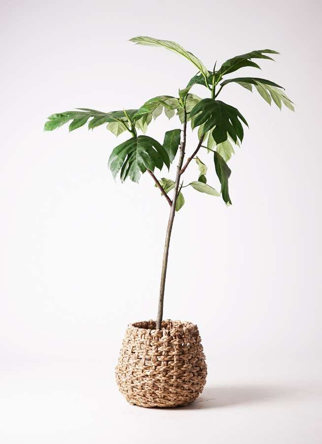 観葉植物 パンノキ 8号 ラッシュバスケット Natural 付き
