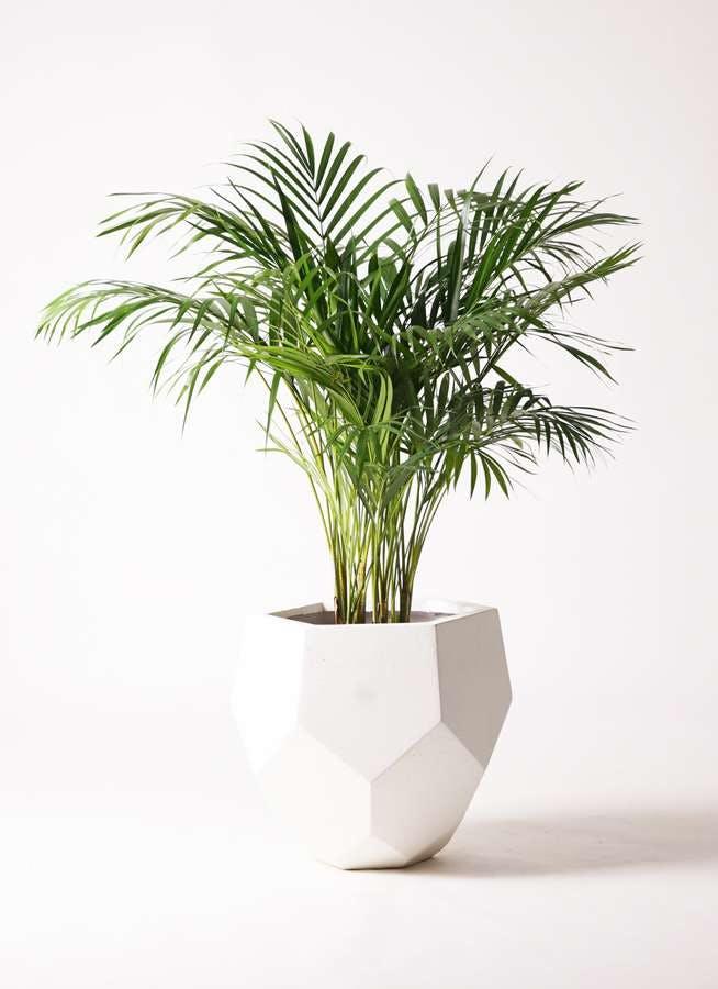 観葉植物 アレカヤシ 8号 ポリゴヘクサ 白 付き