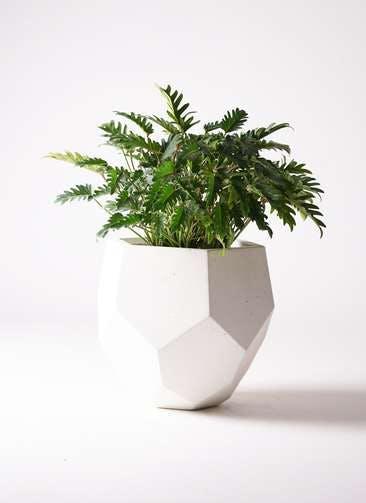 観葉植物 クッカバラ 7号 ポリゴヘクサ 白 付き