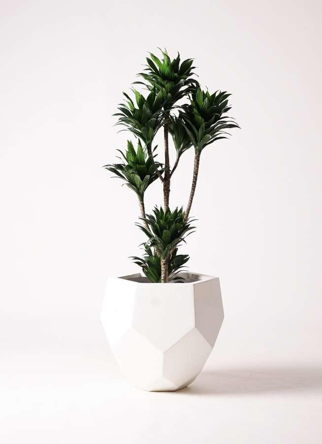 観葉植物 ドラセナ コンパクター 8号 ポリゴヘクサ 白 付き