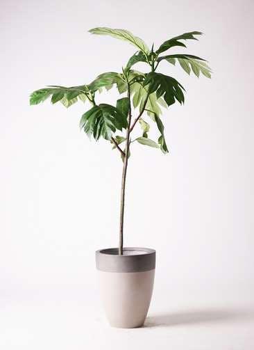 観葉植物 パンノキ 8号 ファイバーストーンカプリ サンディホワイト 付き