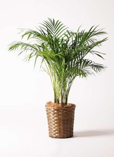観葉植物 アレカヤシ 8号 竹バスケット 付き