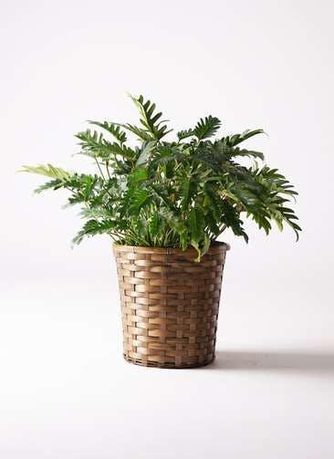 観葉植物 クッカバラ 7号 竹バスケット 付き