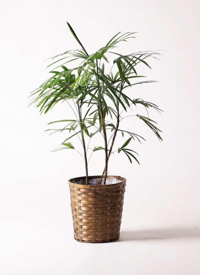 観葉植物 シュロチク(棕櫚竹) 8号 竹バスケット 付き