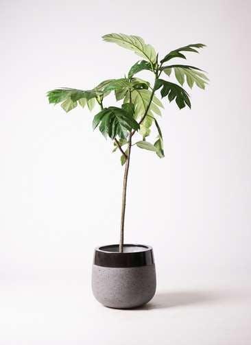 観葉植物 パンノキ 8号 ファイバーストーンタウルス 黒 付き