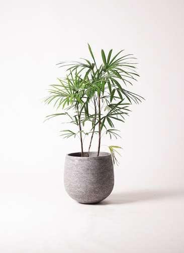 観葉植物 シュロチク(棕櫚竹) 8号 エコストーンGray 付き