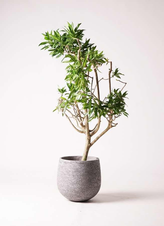 観葉植物 ドラセナ ソング オブ ジャマイカ 8号 エコストーンGray 付き