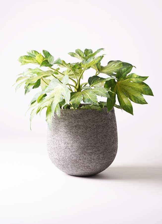 観葉植物 ヤツデ 7号 エコストーンGray 付き