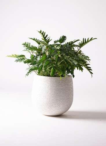 観葉植物 クッカバラ 7号 エコストーンwhite 付き