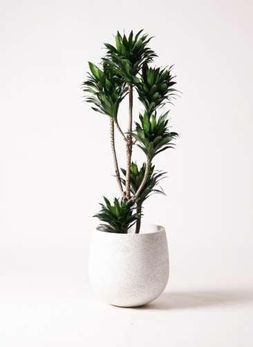 観葉植物 ドラセナ コンパクター 8号 エコストーンwhite 付き