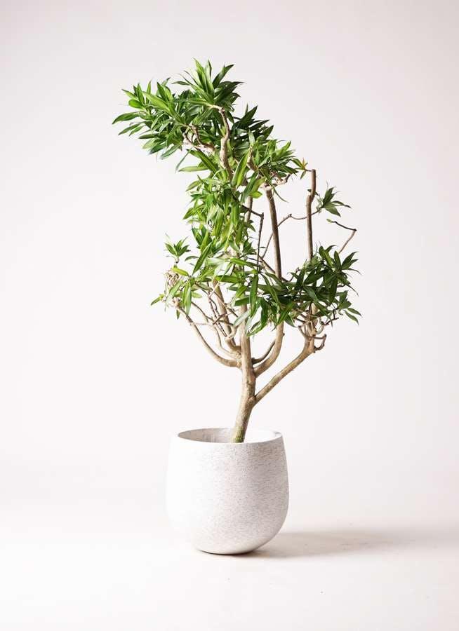 観葉植物 ドラセナ ソング オブ ジャマイカ 8号 エコストーンwhite 付き