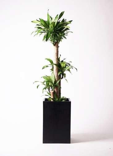 観葉植物 ドラセナ 幸福の木 10号 ノーマル セドナロング 墨 付き