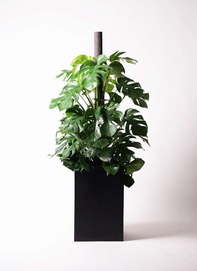 観葉植物 モンステラ 10号 木柱 セドナロング 墨 付き
