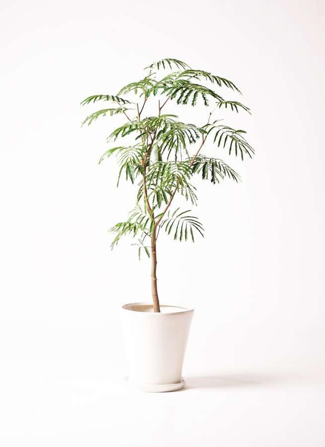 観葉植物 エバーフレッシュ 8号 ボサ造り サブリナ 白 付き