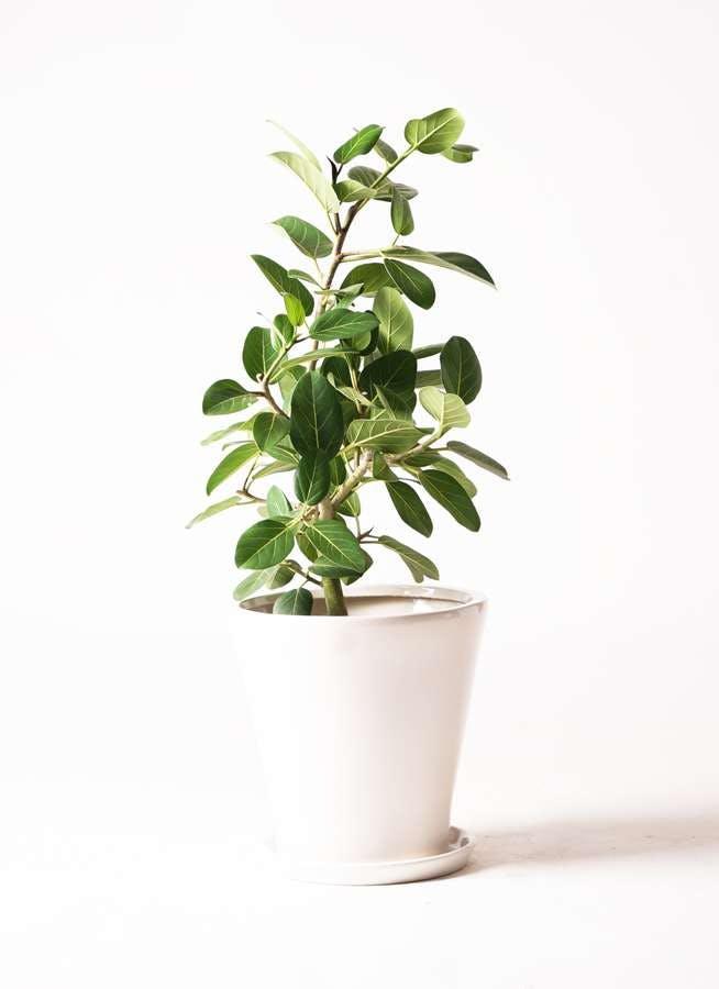 観葉植物 フィカス ベンガレンシス 7号 ストレート サブリナ 白 付き