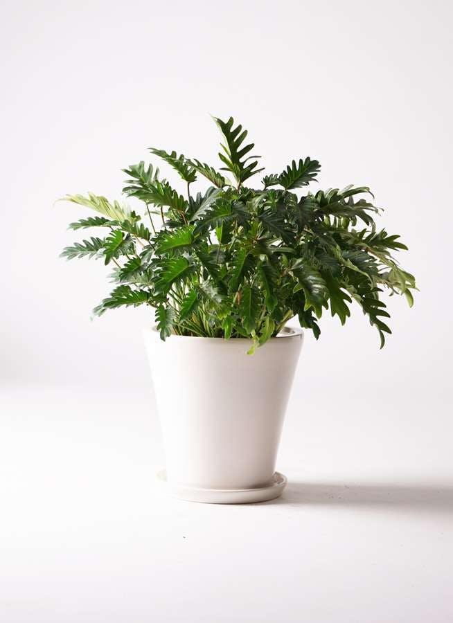 観葉植物 クッカバラ 7号 サブリナ 白 付き