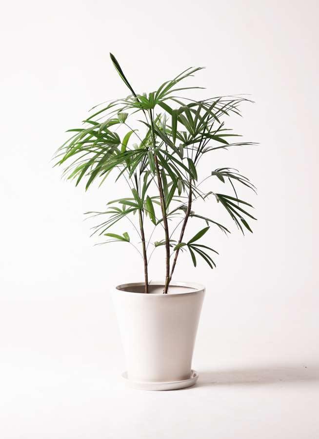 観葉植物 シュロチク(棕櫚竹) 8号 サブリナ 白 付き