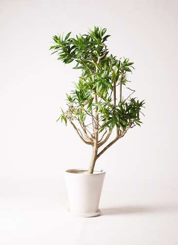 観葉植物 ドラセナ ソング オブ ジャマイカ 8号 サブリナ 白 付き
