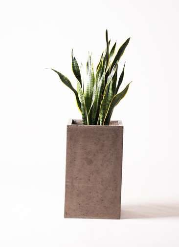 観葉植物 サンスベリア 8号 トラノオ セドナロング グレイ 付き