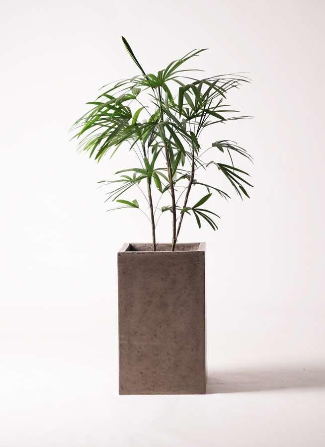 観葉植物 シュロチク(棕櫚竹) 8号 セドナロング グレイ 付き