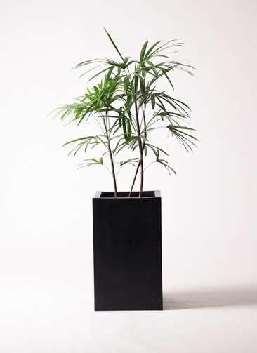 観葉植物 シュロチク(棕櫚竹) 8号 セドナロング 墨 付き