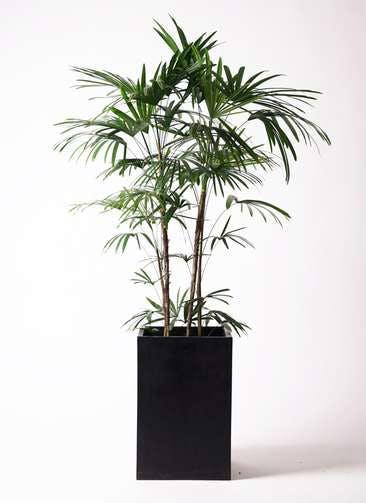 観葉植物 シュロチク(棕櫚竹) 10号 セドナロング 墨 付き